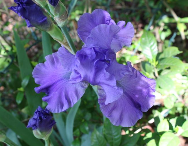 blooming purple iris