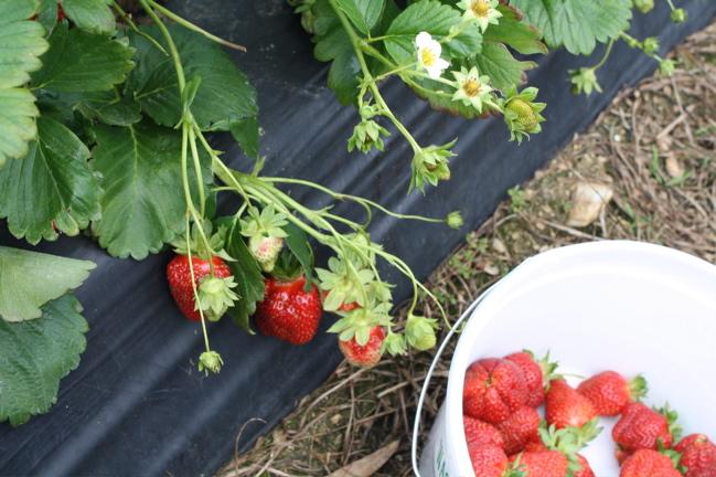 closeup of a strawberry vine
